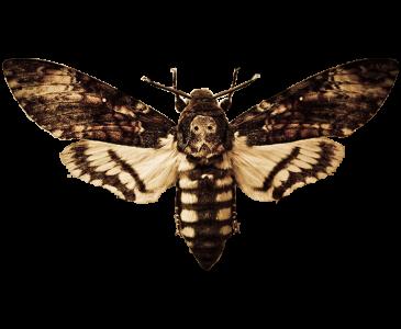 Acherontia Nyx